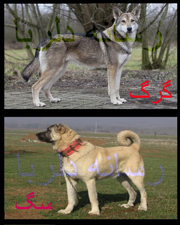 سگ یا گرگ