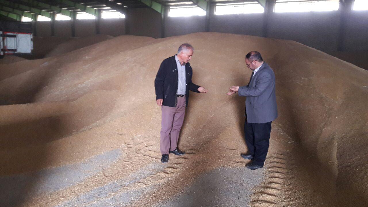 برداشت گندم در شهرستان گرمی مغان از روز شنبه آغاز شده است