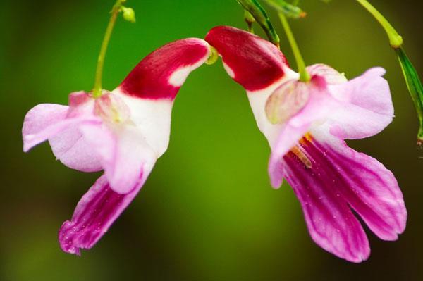 گل شگفت انگیز طوطی