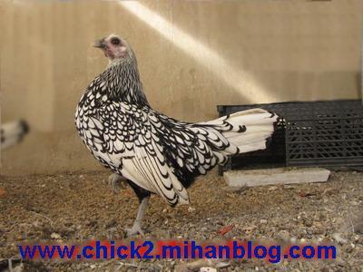 مرغ مینیاتوری