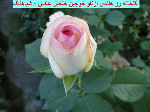 گل خانه رز هلندی در خوجین خلخال .تنها گل خانه رز هلندی در استان اردبیل . گلخانه رز هلندی به مدیریت آقای قربان خداویردی . گلخانه در خوجین خلخال . بهترین گل های رز با متنوعترین رنگها .