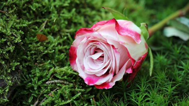 والپیپر اچ دی گل رز سفید صورتی