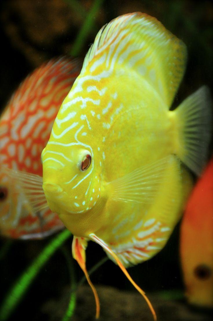 ماهی دیسکس زرد یا طلایی