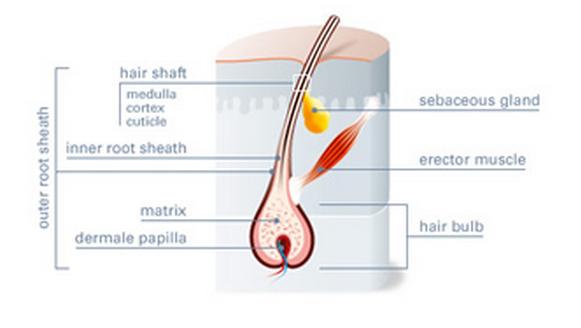 [عکس: xdvr_anatomy_of_body_hair_1.png]