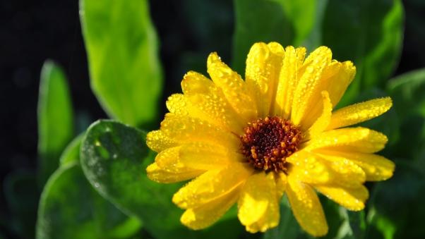 والپیپر اچ دی گل زرد ژربرا