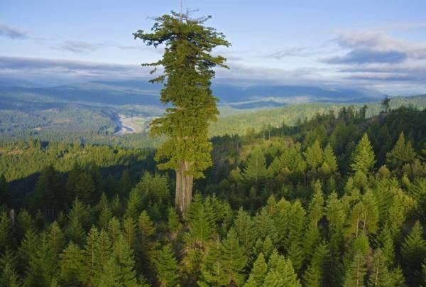 بلندترین درخت