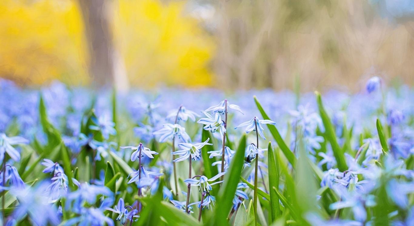 والپیپر اچ دی گل های آبی بهاری